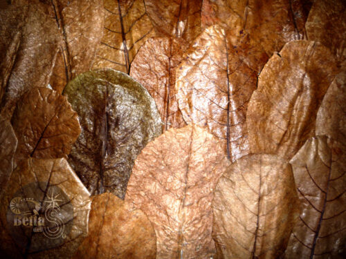 Hojas de Almendro Terminalia Catappa