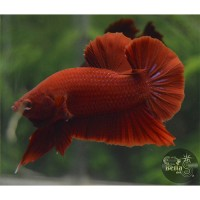F1 Halfmoon Plakat Full Red