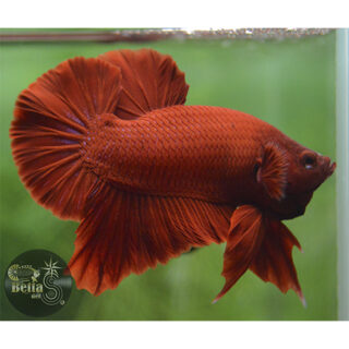 F1 Halfmoon Plakat Full Red #2066