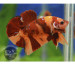 Halfmoon Plakat Candy Nemo