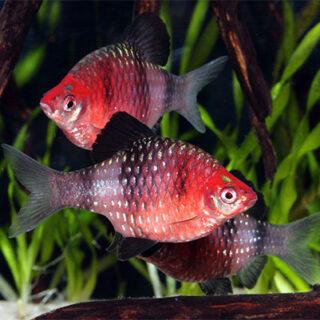 Puntius nigrofasciatus Ruby Barb