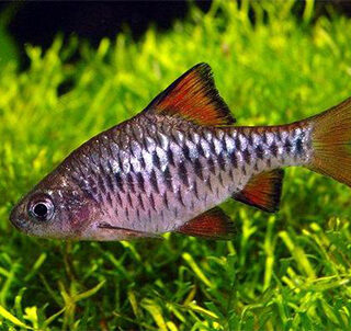 Capoeta Oligolepis Checkered Barb