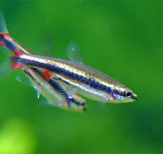 Nannostomus Beckfordi Golden Pencil Tetra