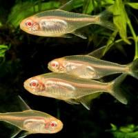 Hemigrammus Erythrozonus Tetra Glowlight Albino