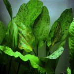 Echinodorus Ozelot Green I 500x500 2