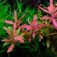 Hygrophila Polysperma Rosanervig I 500x500