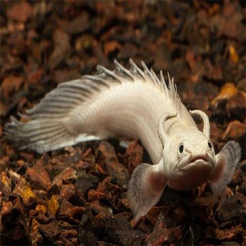 Polypterus Senegalus Albino