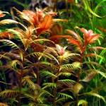 Proserpinaca Palustris 500x500