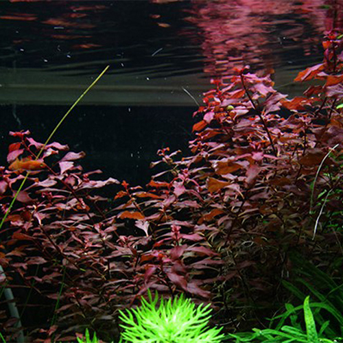 "Ludwigia Sp. Red ""Super Red"""