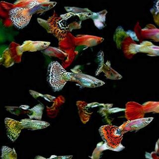 Lebistes Surtidos Multicolor